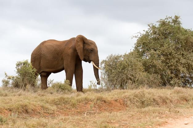 Schöner schuss eines afrikanischen elefanten, der in einem trockenen feld geht