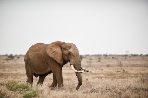 Schöner schuss eines afrikanischen elefanten im savannenfeld