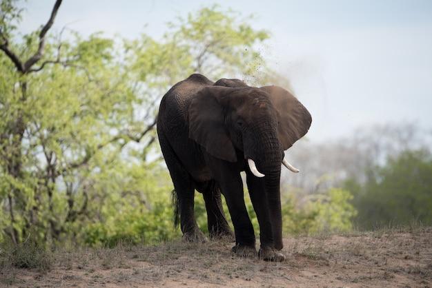 Schöner schuss eines afrikanischen elefanten mit einem unscharfen hintergrund