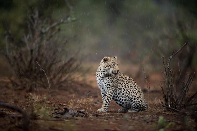 Schöner schuss eines afrikanischen leoparden, der auf dem boden sitzt