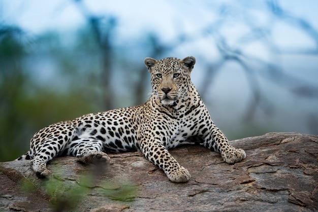 Schöner schuss eines afrikanischen leoparden, der auf dem felsen mit einem unscharfen hintergrund ruht