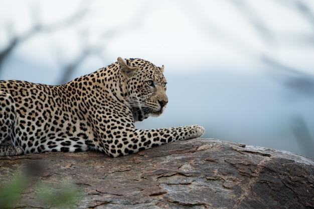 Schöner schuss eines afrikanischen leoparden, der auf dem felsen ruht