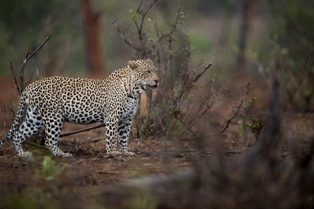 Schöner schuss eines afrikanischen leoparden, der für beute mit einem unscharfen hintergrund jagt