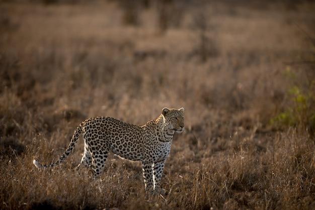 Schöner schuss eines afrikanischen leoparden in einem feld