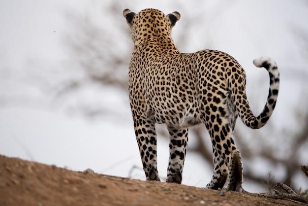Schöner schuss eines afrikanischen leoparden mit einem unscharfen hintergrund