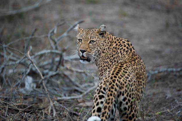 Schöner schuss eines afrikanischen leoparden
