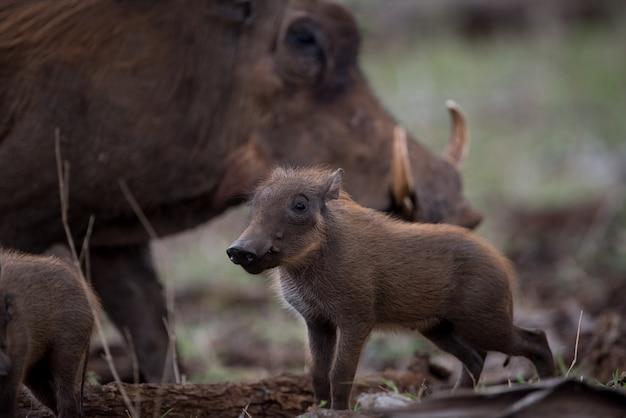 Schöner schuss eines afrikanischen wildschweins der mutter mit ihrem baby