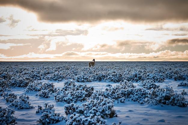 Schöner schuss eines alpakas, das in einem feld steht, das mit schnee unter einem bewölkten himmel bedeckt wird