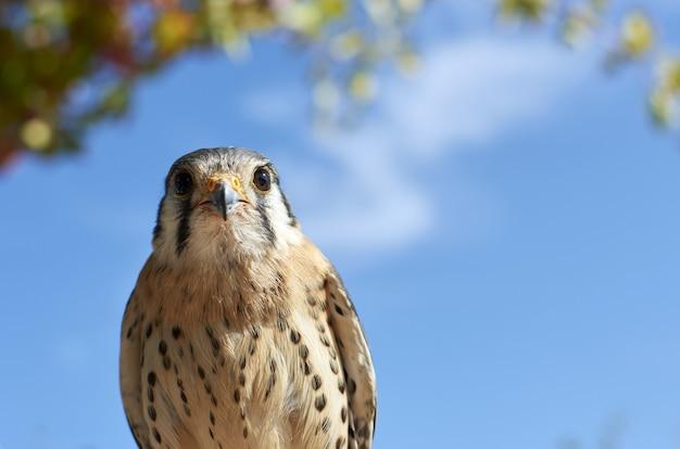 Schöner schuss eines amerikanischen turmfalkenvogels auf einem blauen himmel