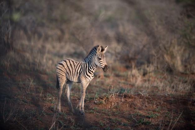 Schöner schuss eines babyzebras