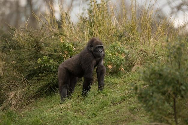 Schöner schuss eines berggorillas