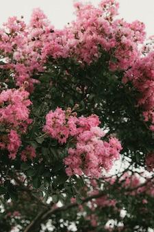 Schöner schuss eines blühenden rosa sakura-baumes