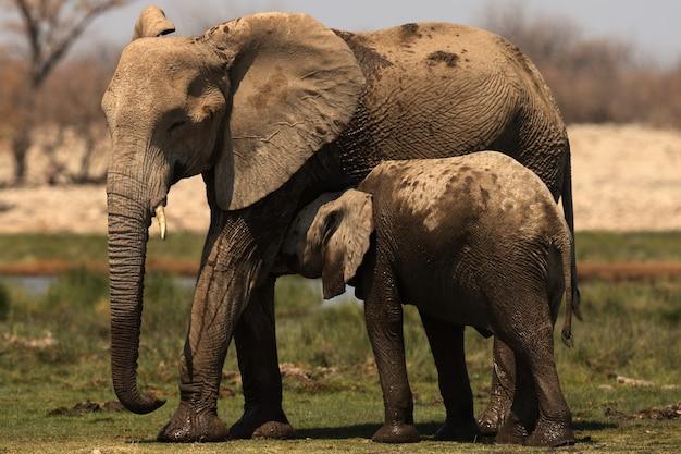 Schöner schuss eines elefantenbabys, der mit seiner mutter kuschelt