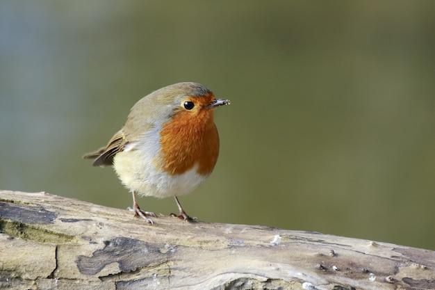 Schöner schuss eines europäischen robin-vogels, der auf einem zweig im wald thront