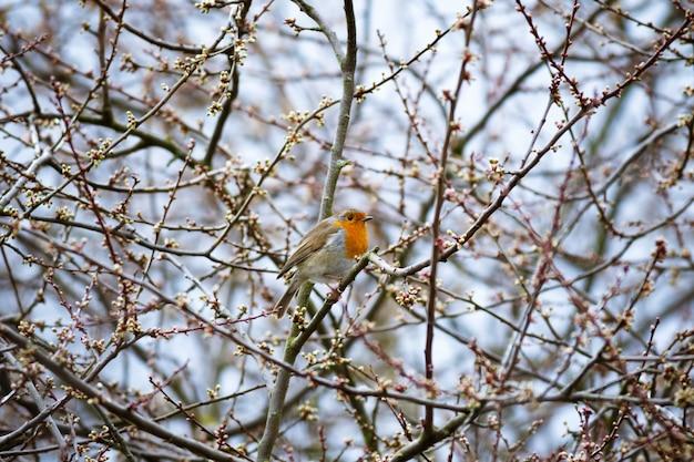 Schöner schuss eines europäischen rotkehlchenvogels, der auf dem zweig ruht