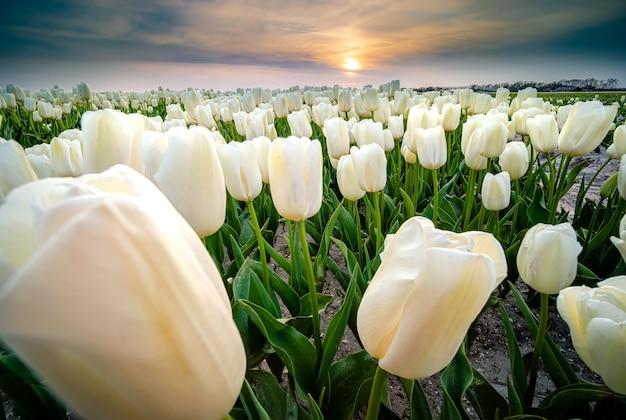 Schöner schuss eines feldes der weißen tulpenblumen während des sonnenuntergangs