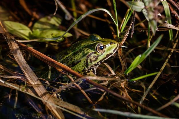 Schöner schuss eines frosches mit einem intensiven blick im wasser