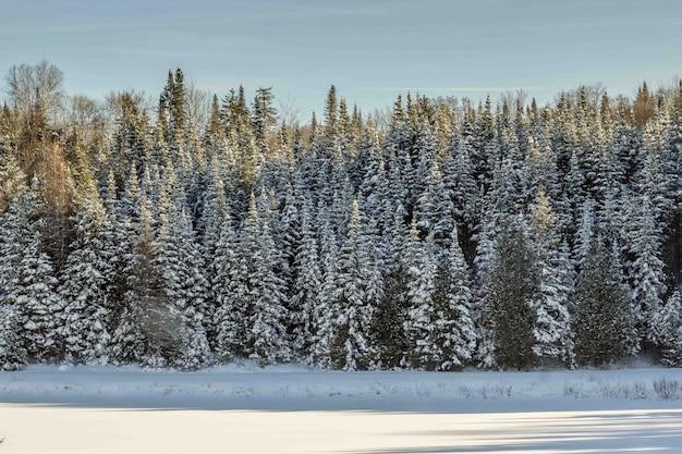 Schöner schuss eines kiefernwaldes, der im schnee während des winters bedeckt ist
