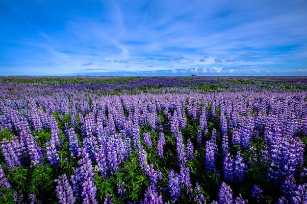 Schöner schuss eines lila blumenfeldes unter einem blauen himmel
