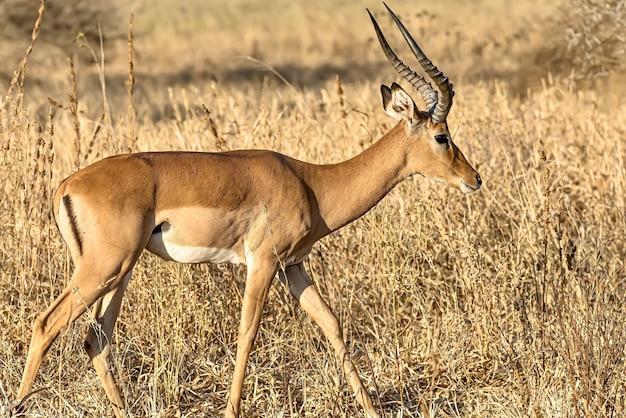 Schöner schuss eines männlichen impalas in den feldern