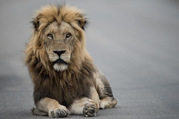 Schöner schuss eines männlichen löwen, der auf der straße ruht