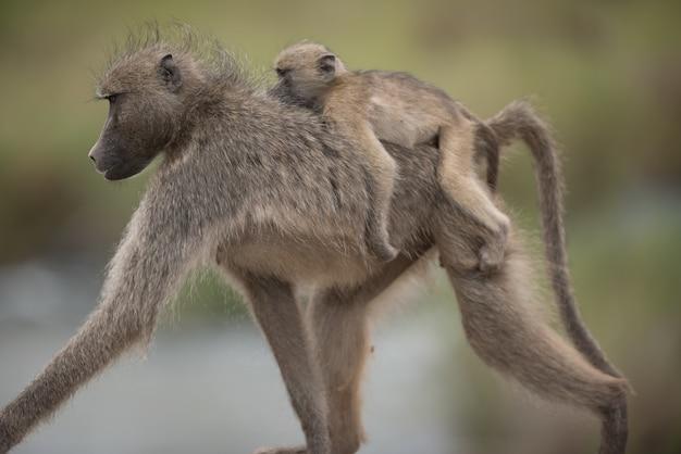 Schöner schuss eines mutterpavians mit ihrem baby, das auf ihrem rücken reitet