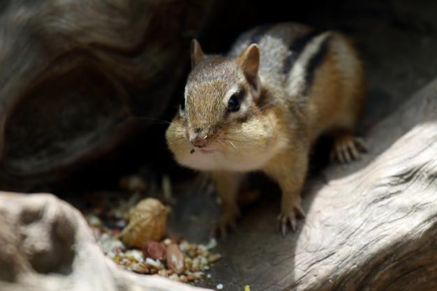 Schöner schuss eines niedlichen chipmunk, der nüsse im royal botanical gardens im sommer isst