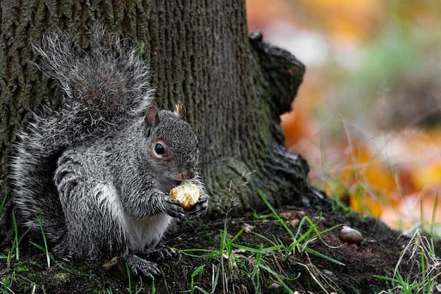Schöner schuss eines niedlichen fuchs-eichhörnchens, das haselnuss hinter einem baum isst