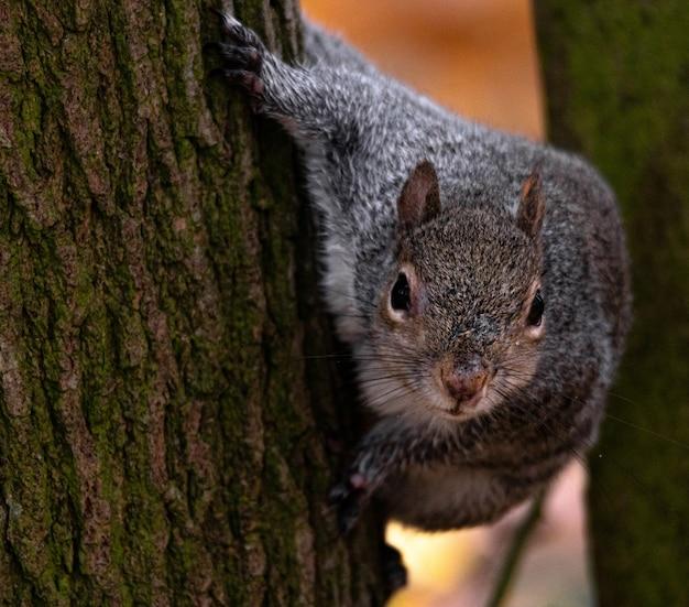 Schöner schuss eines niedlichen fuchs eichhörnchens hinter dem baum