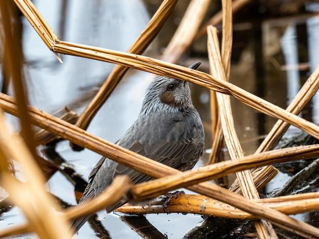 Schöner schuss eines niedlichen japanischen braunen bulbul, der auf einem zweig nahe dem teich in tokio, japan steht