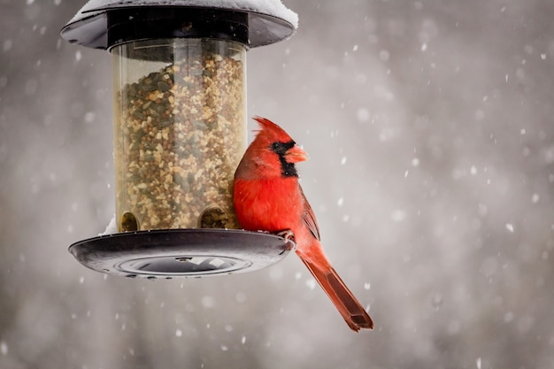 Schöner schuss eines niedlichen nördlichen kardinalvogels an einem wintertag