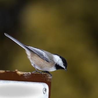 Schöner schuss eines schwarzweiss-singvogels, der auf einem holzblock im wald steht