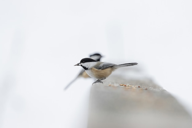 Schöner schuss eines schwarzweiss-singvogels, der im winter auf dem stein steht