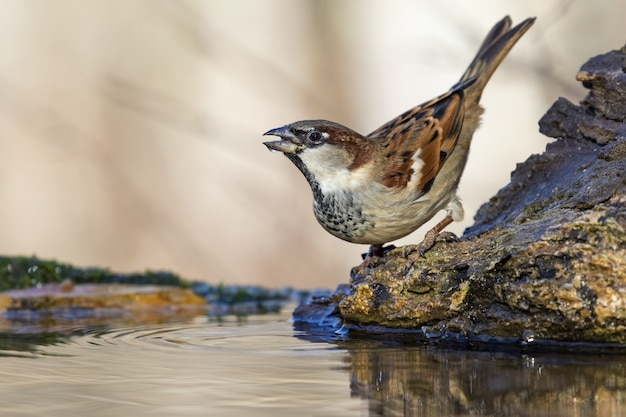 Schöner schuss eines sperlingsvogels auf dem felsen im wald