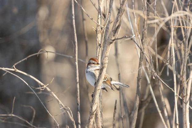 Schöner schuss eines sperlingsvogels, der auf dem zweig mit einer unschärfe ruht