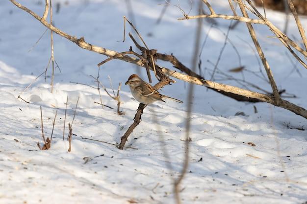 Schöner schuss eines sperlingsvogels, der auf einem zweig während des winters ruht