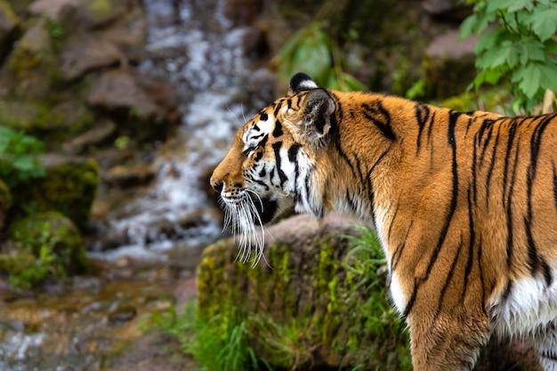 Schöner schuss eines tigers, der während des tages im wald steht