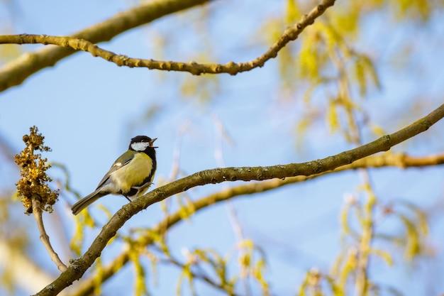 Schöner schuss eines vogels, der auf einem zweig des blühenden baumes mit dem blauen himmel sitzt