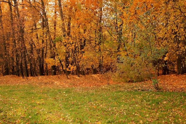 Schöner schuss eines waldes mit bäumen und den gelben herbstblättern auf dem boden in russland