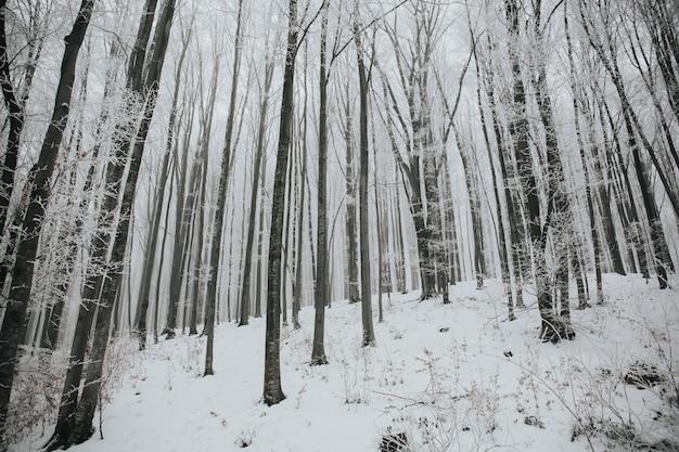 Schöner schuss eines waldes mit hohen kahlen bäumen, die mit schnee in einem wald bedeckt werden