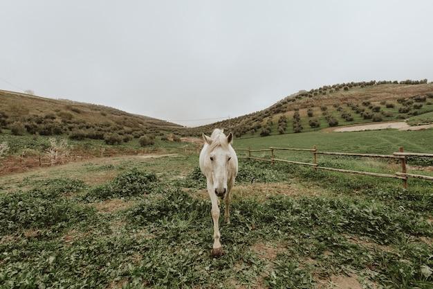 Schöner schuss eines weißen pferdes, das auf einer grünen wiese geht