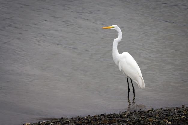 Schöner schuss eines weißen reihers, der im meerwasser steht