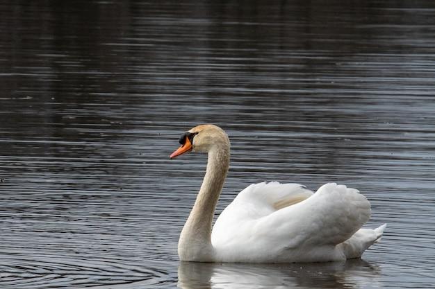 Schöner schuss eines weißen schwans, der im wasser schwimmt