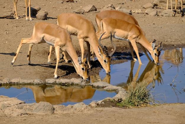 Schöner schuss von antilopen-trinkwasser von einem see in safari