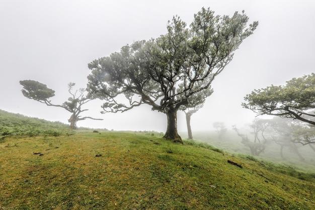 Schöner schuss von bäumen, die in den hügeln von fanal in madeira an einem nebligen tag wachsen