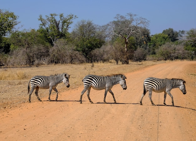 Schöner schuss von drei zebras, die die straße in safari mit bäumen kreuzen