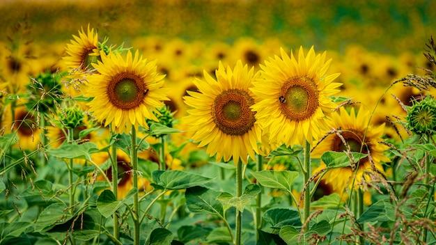 Schöner schuss von frischen sonnenblumen, die gerade im feld wachsen