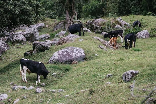 Schöner schuss von grasenden kühen