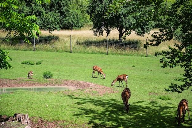 Schöner schuss von hirschen auf grünem gras im zoo an einem sonnigen tag