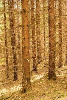 Schöner schuss von hohen kahlen bäumen im wald im herbst